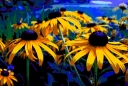 adjusted-saturation-on-posterized-black-eyed-susans