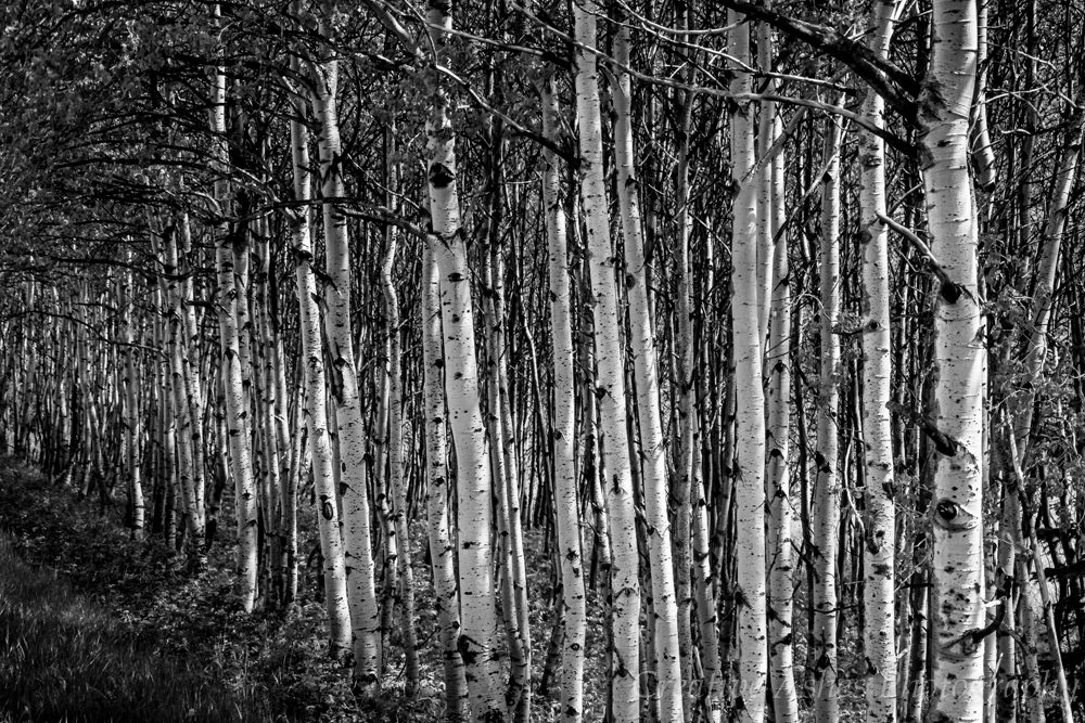 Aspens - Olympus InVision Pennsylvania Photographers Selection